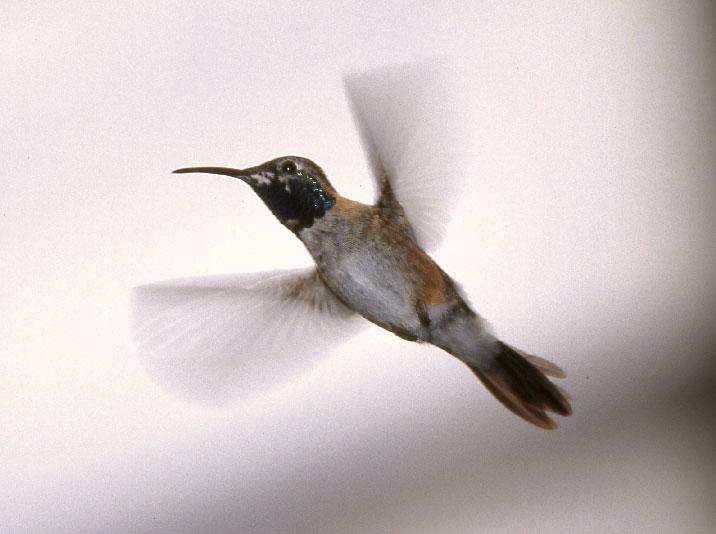 Se sei un colibrì forse ti interessa il destino delle anatre